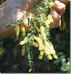 wattleseedflowers