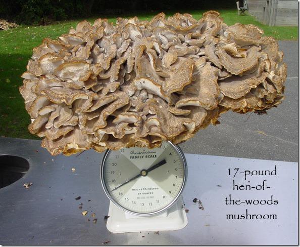 17_lb_mushroom_scale