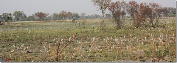cotton_grass