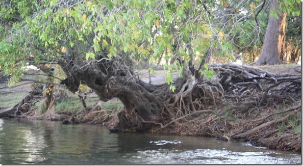 tree_on_zambezi