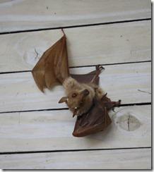 bat_sandibe