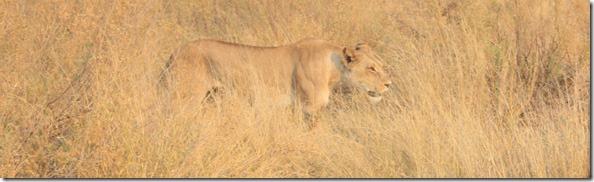 lion_hidden_in_grass