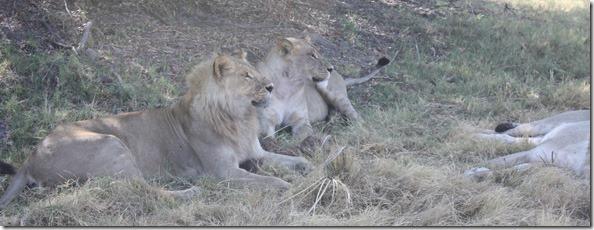 lions_resting