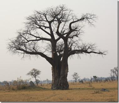 xudum_baobab_tree