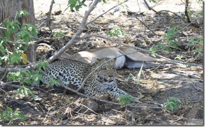 leopard_impala_kill