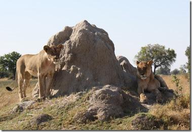 lion_pair